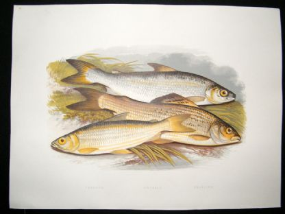Houghton 1879 Folio Antique Fish Print Vendace, Gwyniad, Grayling | Albion Prints